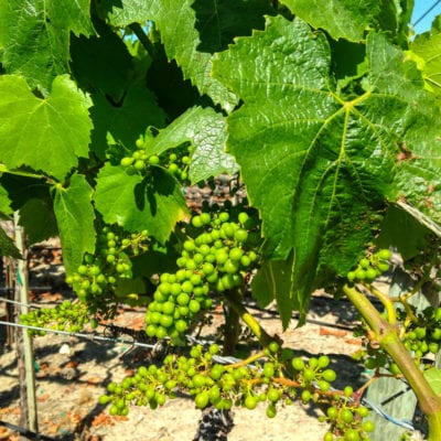 Sonoma-Cutrer Winery Tour and Tasting